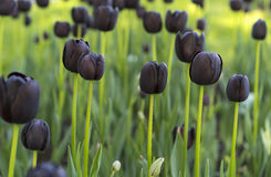 Tulips. Violet tulips field, close up view Royalty Free Stock Images