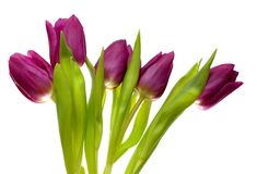 Tulips violetas da mola Fotografia de Stock