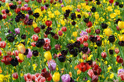Tulips & Violets Stock Photography