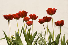 Tulips on a wall background. Red blooming tulips on a white wall background shot from below royalty free stock photos