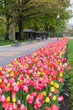 Tulips in Washington DC Royalty Free Stock Images