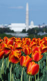 Orange Spring Tulips City of Washington DC Royalty Free Stock Photo