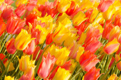 Tulips in Washington Park Royalty Free Stock Image