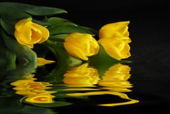 Tulips on water Royalty Free Stock Image