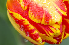 Tulips and water Royalty Free Stock Image