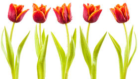 Tulips with water droplets Stock Image