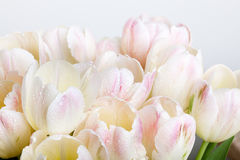 Tulips with water drops Royalty Free Stock Photos