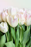 Tulips with water drops Royalty Free Stock Images