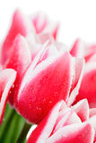 Tulips with water drops Royalty Free Stock Image