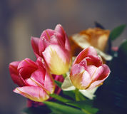 Tulips with water drops Stock Image