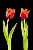 Tulips with water drops Royalty Free Stock Photography