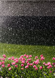 Tulips watered. Red tulips on the green lawn watered Stock Images