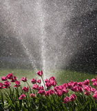 Tulips watered Royalty Free Stock Photo