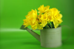Tulips in Watering Can Stock Photography
