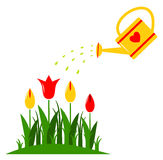 Tulips and watering can Royalty Free Stock Images
