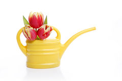 Tulips in watering can Stock Images