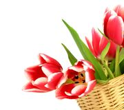 Tulips in a wattled basket isolated on white Royalty Free Stock Photo