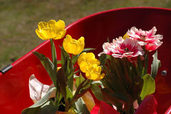 Tulips in wheel barrow Stock Photography