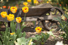 Tulips and wheelbarrow. Yellow and Red Tulips near and old weathered wheelbarrow in a farmers garden Stock Photo