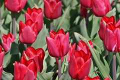 Tulip Merry Christmas Tulipa, Liliaceae, flowers in spring Stock Image