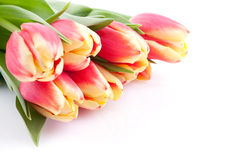 Tulips on white Royalty Free Stock Image