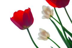 Tulips on a white Stock Photos