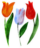 Tulips on white Stock Photo