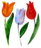 Tulips on white Stock Photo