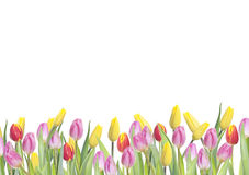Tulips on white. Border made of colorfull tulips on white background royalty free stock photography