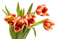 Tulips on white. Tulips bouquet on white background Stock Images