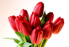 Tulips on white. Red tulip bouquet on a white background Royalty Free Stock Photo