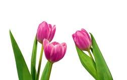 Tulips on white background Royalty Free Stock Photos
