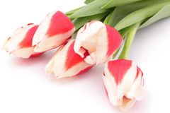 Tulips on a white background Stock Image