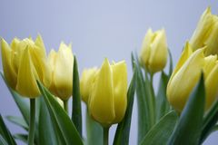 Tulips. On a white background Royalty Free Stock Photo