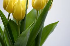 Tulips. On a white background Royalty Free Stock Photography