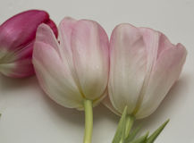 Tulips on a white background Royalty Free Stock Images