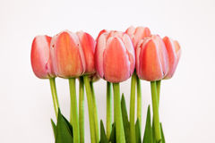Tulips on white background closeup Royalty Free Stock Photos