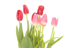 Tulips in a white background Stock Photography