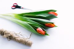 Tulips on a white background with a rope. Isolate. Stock Photo