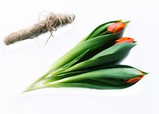 Tulips on a white background with a rope. Isolate. Royalty Free Stock Photos