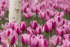 Tulips and white birch Royalty Free Stock Photography