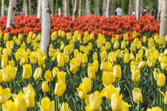 Tulips and white birch Royalty Free Stock Images