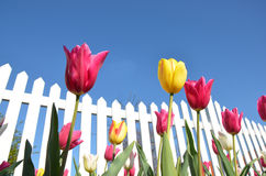 Tulips With a white Fence Royalty Free Stock Images