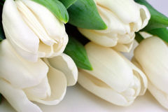 Tulips in white Royalty Free Stock Photo