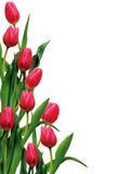 Tulips on the white Royalty Free Stock Photography