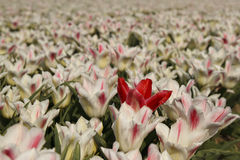 Tulips. White with red tulips field Royalty Free Stock Photo