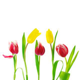 Tulips on white Stock Photos