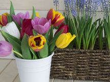 Tulips in a white vase and muscari in a basket. Easter composition. stock photography