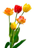 Tulips on white. View of Tulips in full bloom on a white background Stock Image
