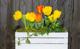 Tulips in a white wooden box. Yellow and orange Tulips in a white wooden box in front of a dark wooden background Royalty Free Stock Photo